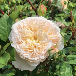 Crocus Rose®