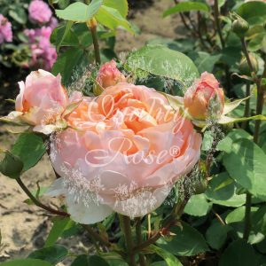 The Lark Ascending Rose®