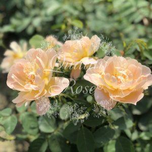 The Lady Gardener®