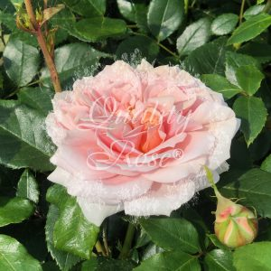 Graden of Roses®