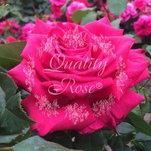First Blush® / Lolita Lempicka®