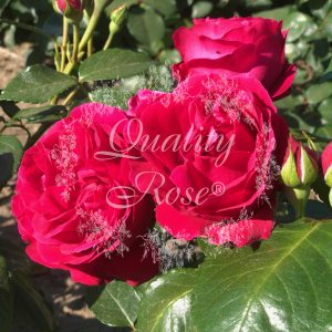 Red Eden Rose® / Eric Taberly