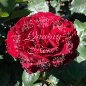Royal Garden®
