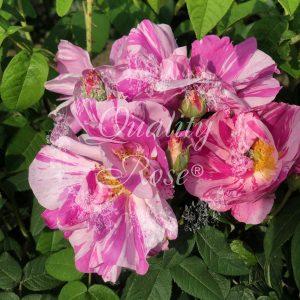 Gallica Versicolor / Rosa Mundi