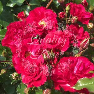 Rotilia® / Red Finesse / Ruby Vigorosa