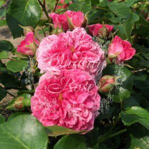 Pink Swany® / Les Quatre Saisons®