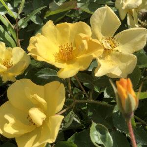 Yellow fleurette®