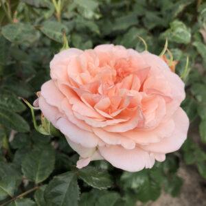 Rose de Tolbiac Kordes®