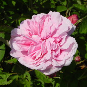 Centifolia / Rosa des Peintres